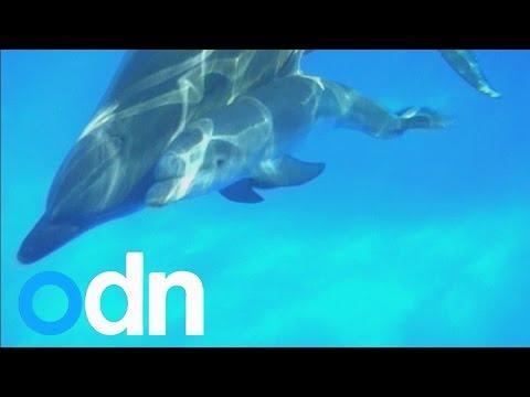 A dolphin at SeaWorld San Diego gives birth