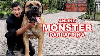 Anjing MONSTER Dari Afrika - Boerboel