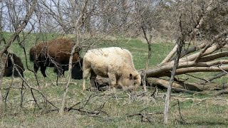 Le bison blanc - Jacky Galou