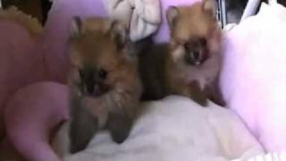 World's Tiniest Pom Puppies For Sale ~ Micro Teacup Pomeranian Puppies For Sale