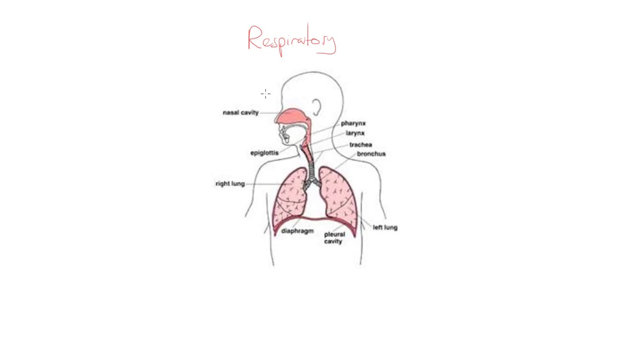 Respiratory system kahoot - YouTube