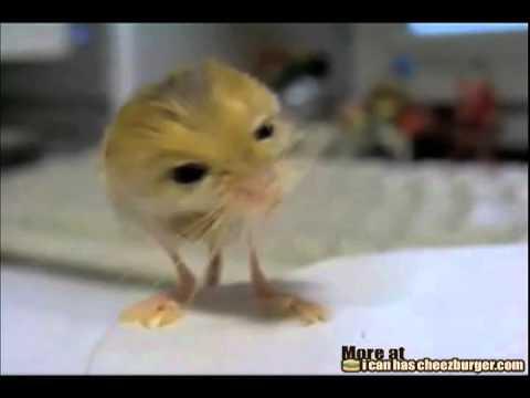 Pygmy Jerboa Mouse - Y...