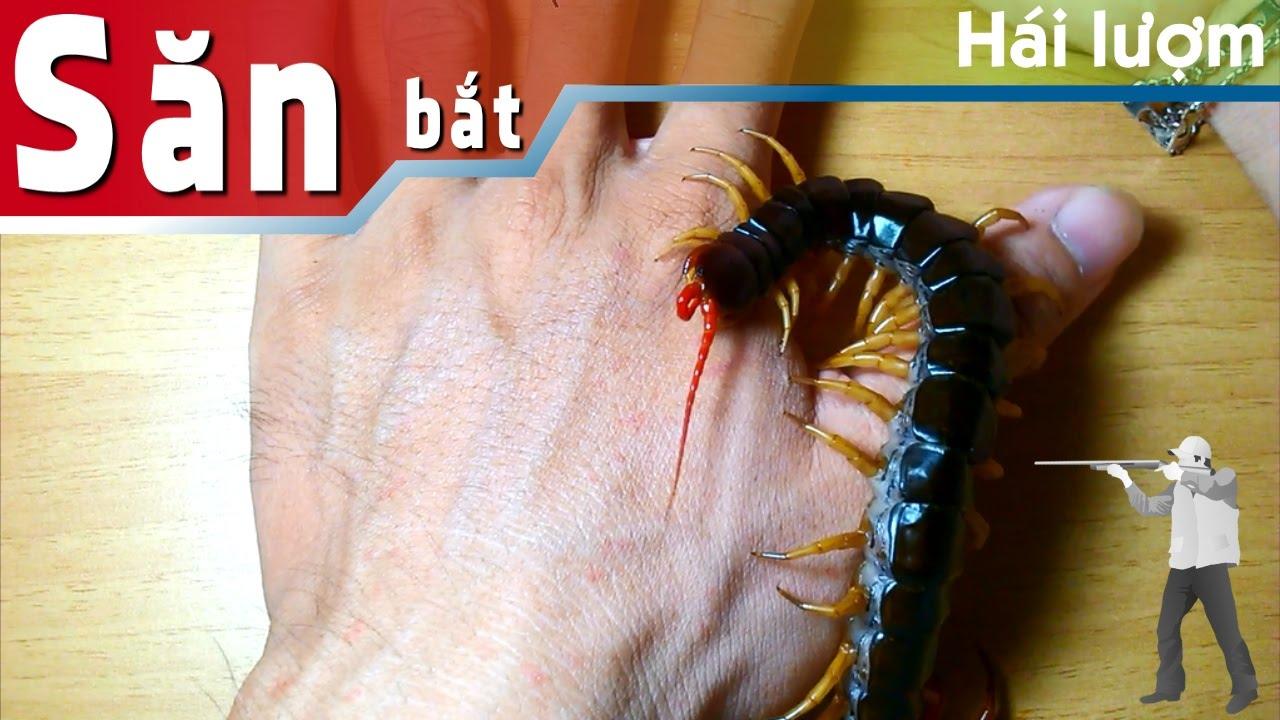 Con rết cắn như thế nào (centipede bite)