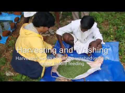 Azolla Cultivation for Livestock Feeding إستزراع الأزولا كعلف لحيونات المزرعة