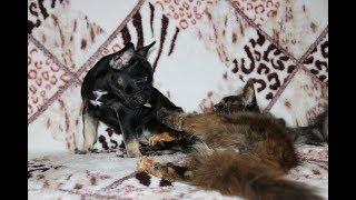Балдёж (кошка  породы Мейн- кун балдеет от маленьких щенят Французского  бульдога )