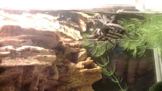 Трехкилевая китайская черепаха. Черепашки-попрошайки