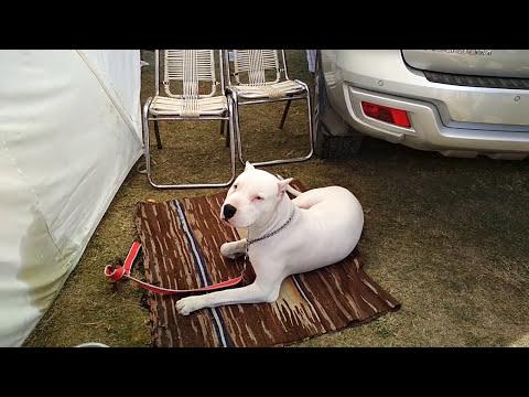 Dog Show Dehradun - Bhola Shola