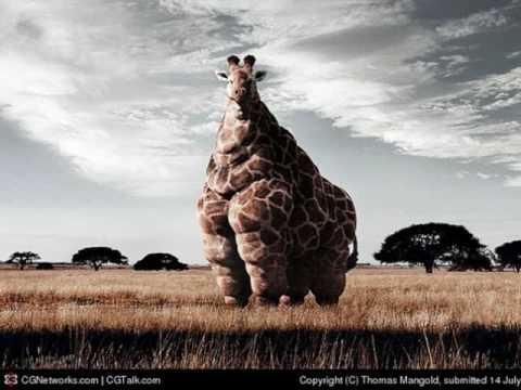 Morbidly Obese Giraffe