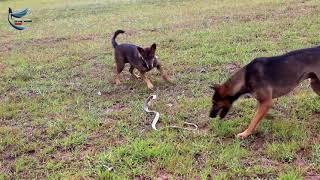 Бой змеи и двух собак.