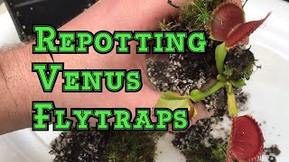 Venus Flytrap Care: How to repot a Venus flytrap