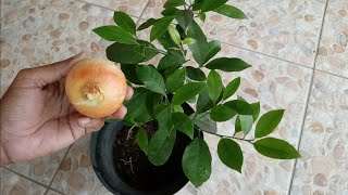 Inseticida natural usando cebola – Para todo tipo de plantas