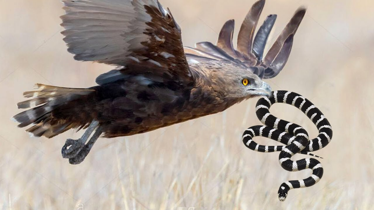 Poisonous Snakes cannot attack the airborne Eagle!