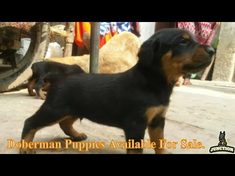 """top-quality-doberman-puppies-available-for-sale-