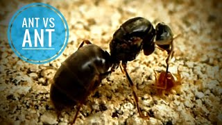 A wingless queen ant trying to remove a tiny brown ant that is clinging to her antenna