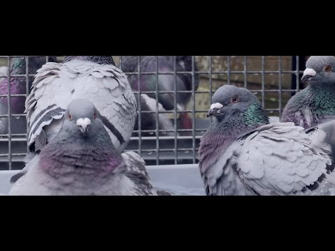FANS OF FLANDERS - COPYRIGHT FLANDERS: The Flemish Pigeon