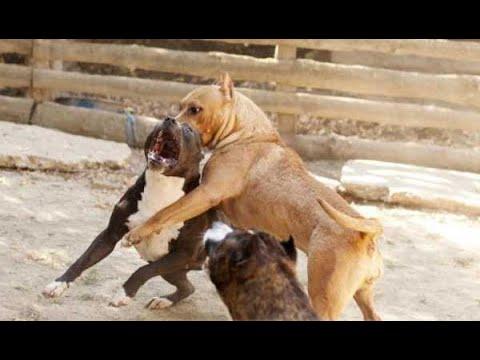 Собачий Бой , Пит против Ам. Стаффа сколько стоит Собачья жизнь ????????