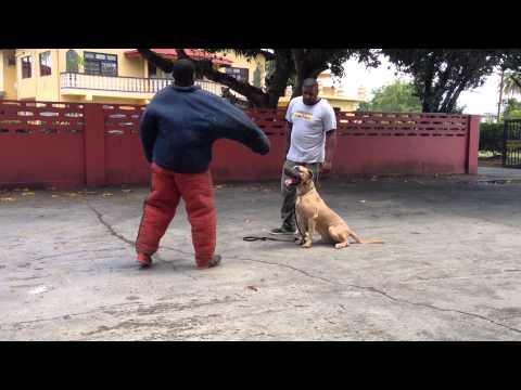 executive-bodyguard-mastiff-in-training-trinidad-&tobago