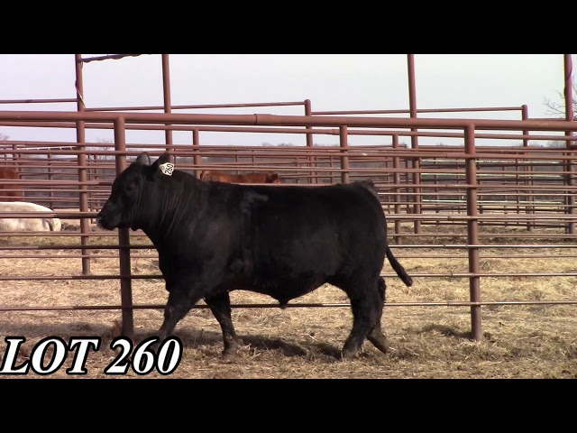 Mead Angus Farms Lot 260