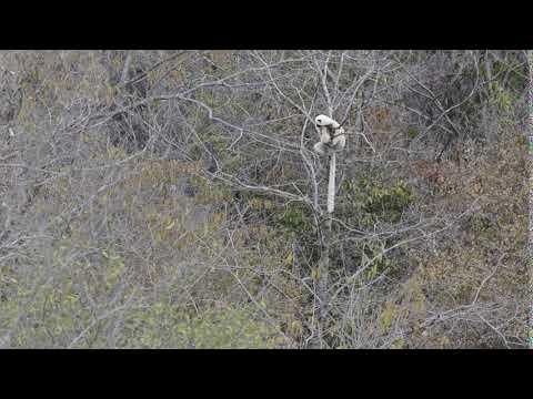 Bemaraha Woolly Lemur On Wikinow News Videos Facts