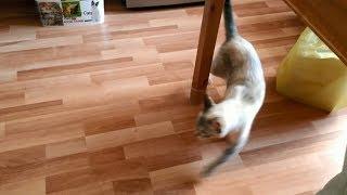 Тайская кошка Шони любит ходить кругами! Тайские кошки - это чудо! Funny Cats