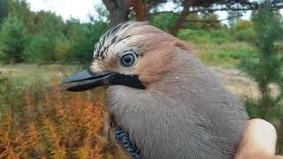 Клюнет или не клюнет? Сойка. Одна из самых красивых птиц Лен. области.