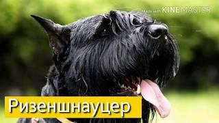 Все про собаку Ризеншнауцер