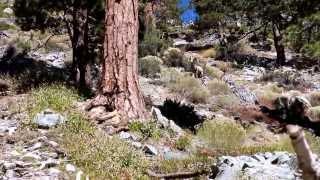 mt baldy ca ski hut trail bighorn sheep meets dog