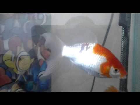 Goldfish Losing Scales