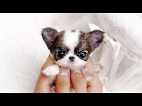 世界十大最迷你的狗狗 - YouTube