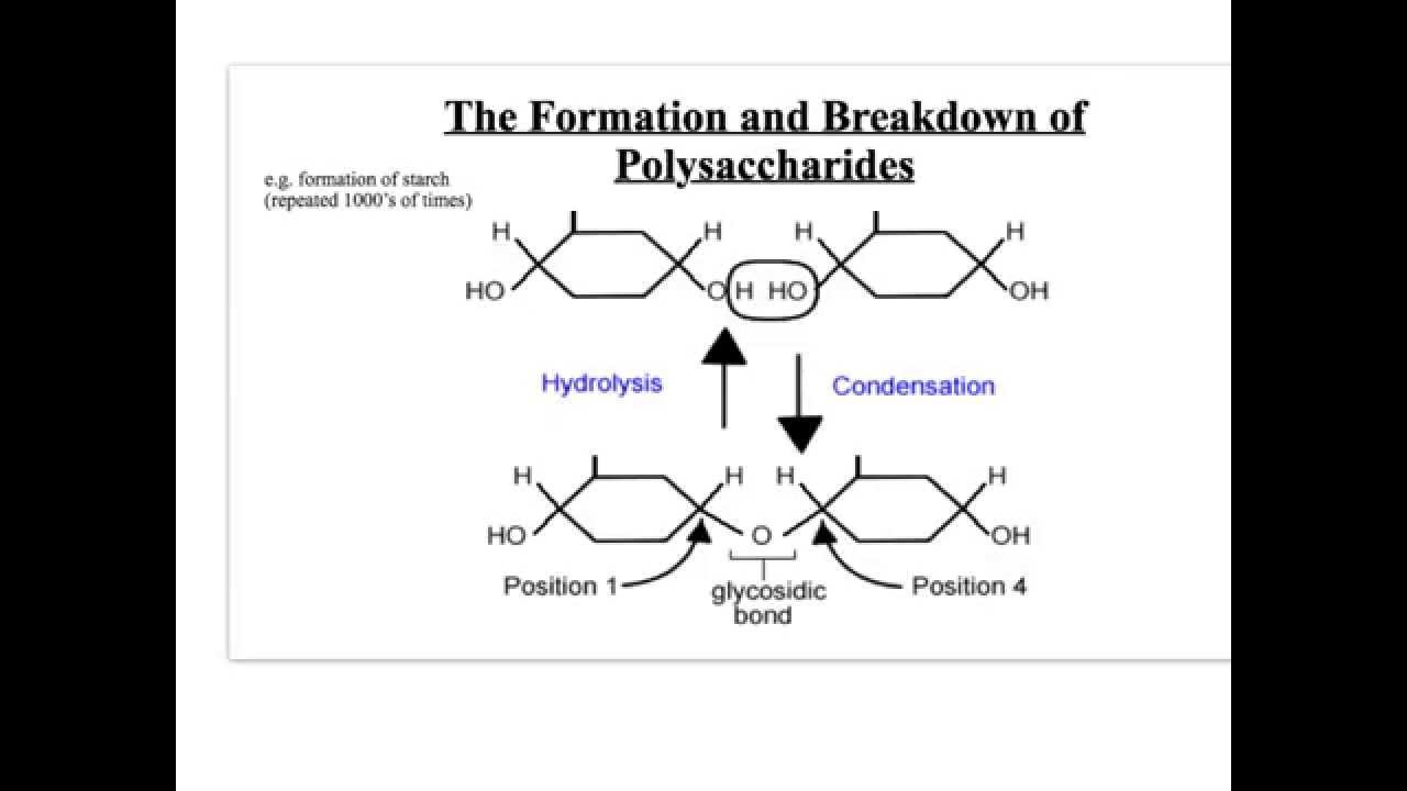 starch glycogen and cellulose essay Sugar glycogen starch and cellulose are all examples of what they are all carbohydrates, meaning they are generated from carbon, hydrogen, and oxygen glycogen, starch, and cellulose are all polysaccharides, which are sugars bonded together through condensation (water-leaving) reactions.