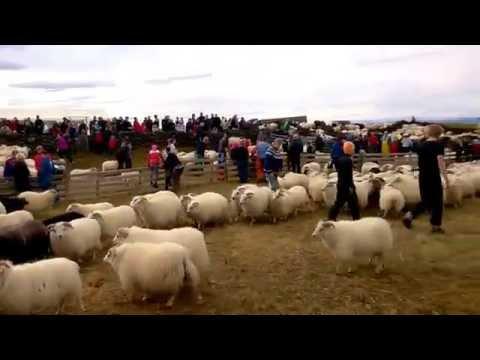 RÉTTIR - The Iceland annual sheep festival