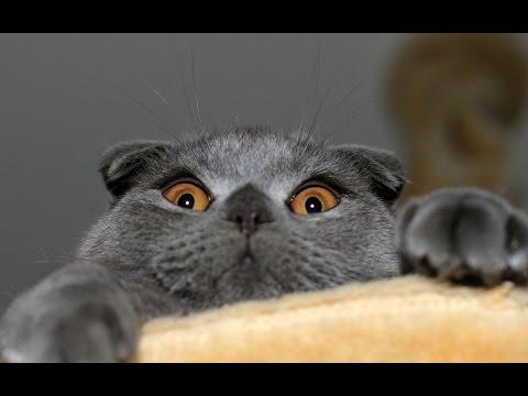 Британский вислоухий кот  играется на выставке))