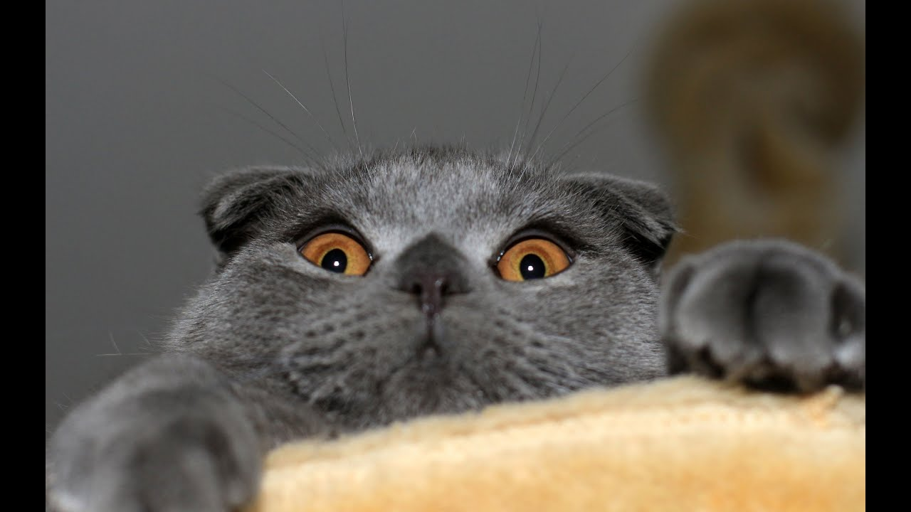 Британский вислоухий кот - YouTube