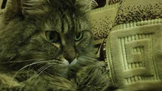Кошка  смотрит видео о своем кошачьем семействе!