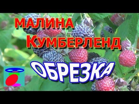 Малина Кумберленд Обрезка. | кумберленд | обрезка | черный | черной | малины | малина | уход | сорт | об