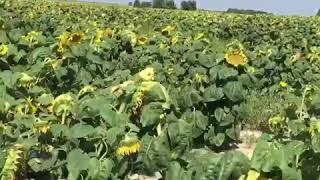 Ukranya'da ayçiçek yağı ucuz bilgi için www.ukraynakievgezirehberi.com