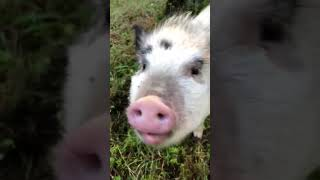 Pet Pigs Are So Cute #shorts