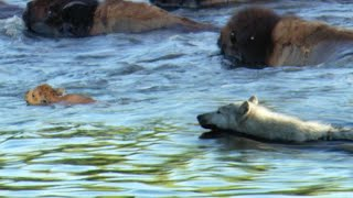 Buffalo Protects Calf From a Wolf | BBC Earth