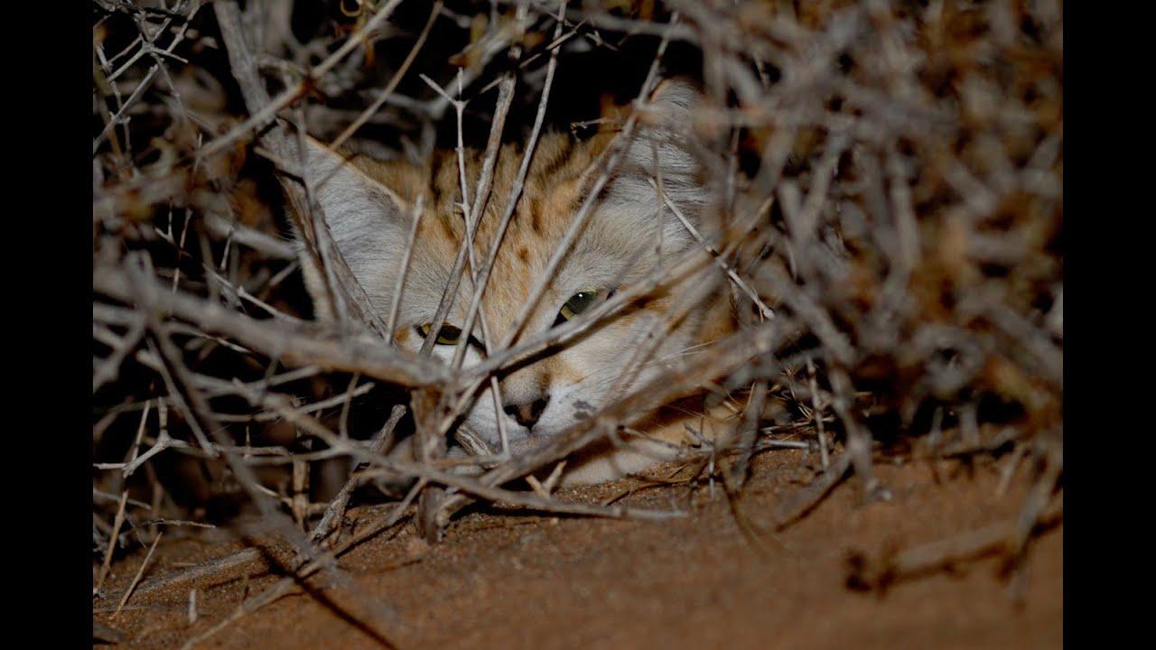A la recherche du chat des sables youtube - Chat des sables a vendre ...