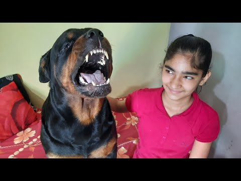 funny dog compilation ||aggressive  rottweiler funny moments| well trained dog|