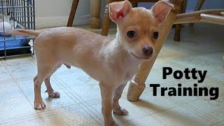 How To Potty Train A Chihuahua Puppy - Chihuahua House Training Tips - Chihuahua Puppies