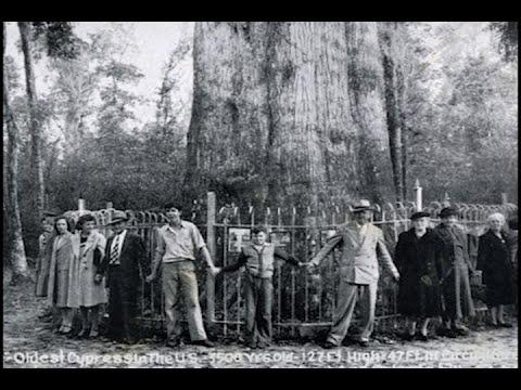 The Senator - A Tree Remembered