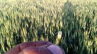 МТЗ-82, опрыскивание пшеницы от трипсы / MTZ- 82, sprinkling of wheat from trips