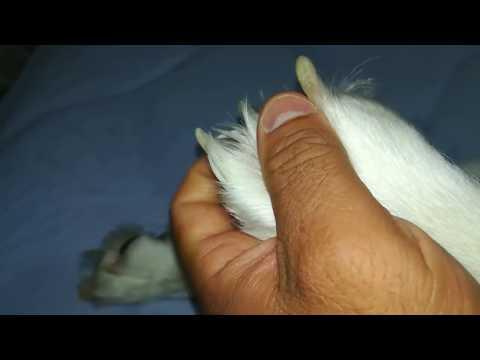 tırnağını-kemiren-köpek