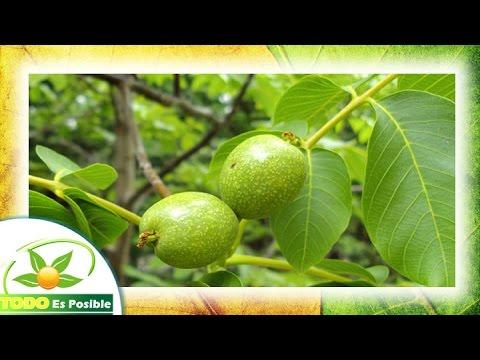 Plantas medicinales el nogal planta youtube for Mezclas de plantas medicinales