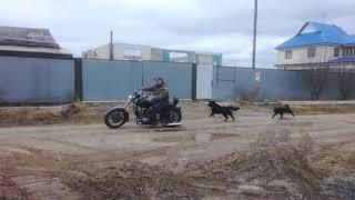 Мотоцикл Урал чоппер (самодельный). Настольная по юности.