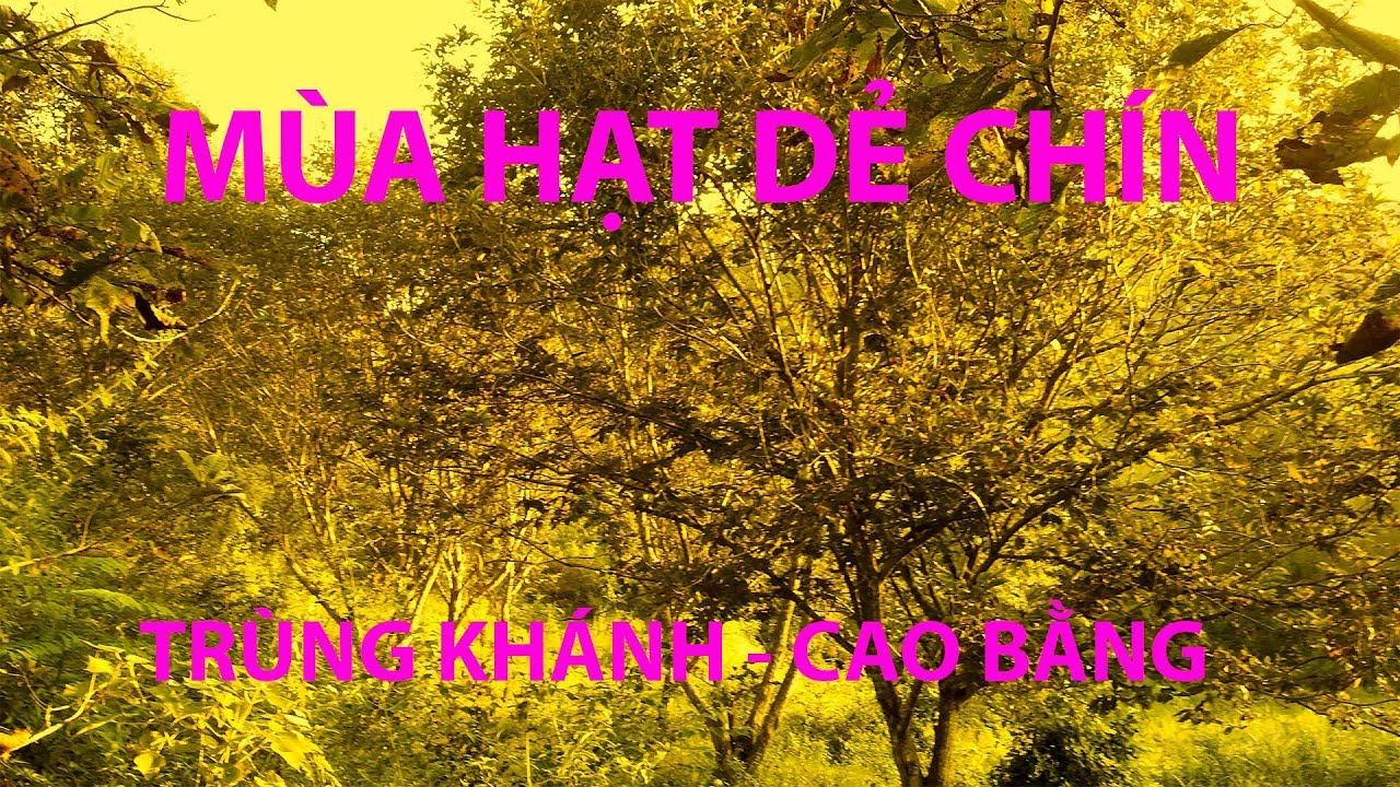 Thăm vườn Cây hạt dẻ chín tại xã Chí Viễn – Trùng Khánh – Cao Bằng