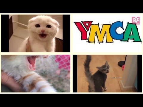 Cats Meowing Y̶M̶e̶o̶w̶C̶A̶  YMCA Song (short excerpt) [Famous Old Songs] (Acapella)
