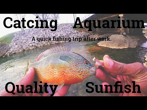 Catching Aquarium Quality Sunfish Ultralight Creek Fishing.