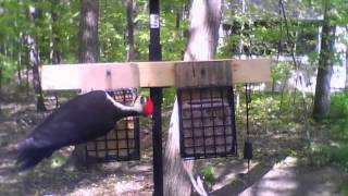 What's at your feeder? -- Pileated Woodpecker